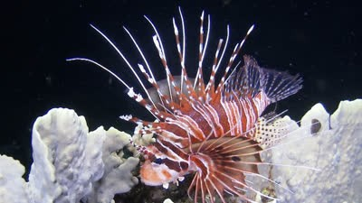 Attractive Yet Poisonous - Spotfin Lionfish, Philippines